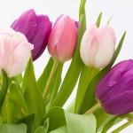 tulip-1230492_960_720